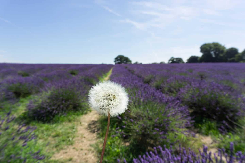 lavender-and-dandelion