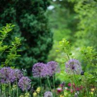 garden with purple flowers
